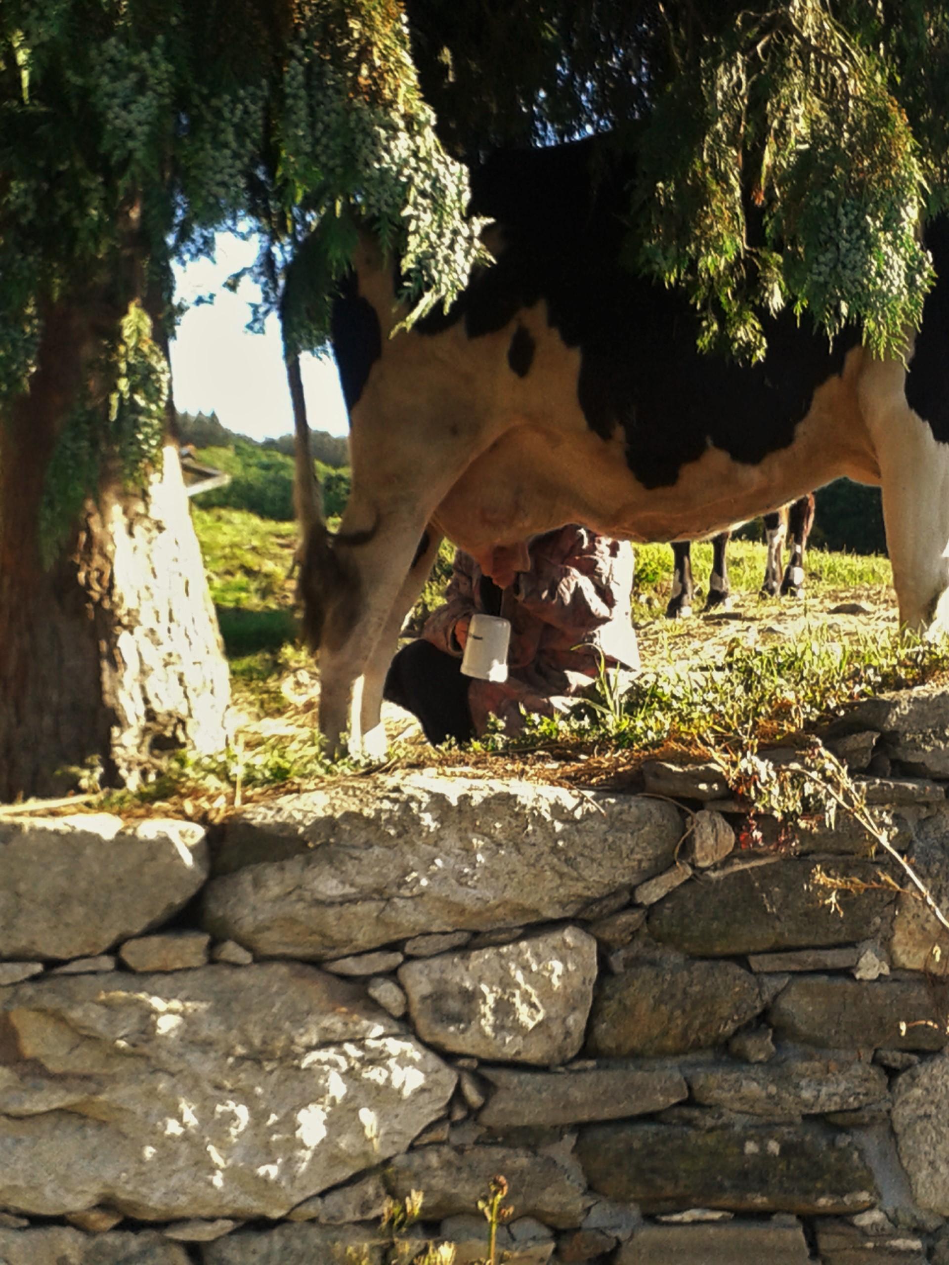 Op de foto een mevrouw die een koe aan het melken is en de melk opvangt in een beker.